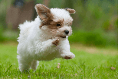 shih tzu puppy running
