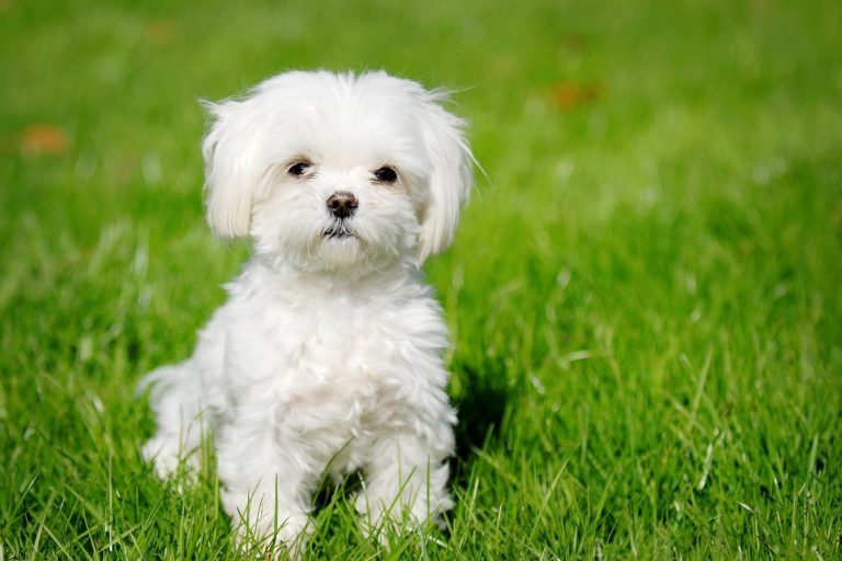 Why Hypoallergenic Dogs Make the Best Pets