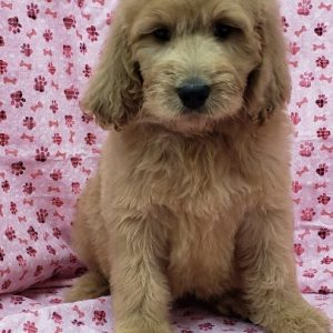 Goldendoodle - Female - DOB: 7/28/18 - Ref# 979