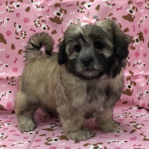 Shihpoo - Female - DOB: 8/13/18 - Ref# 987
