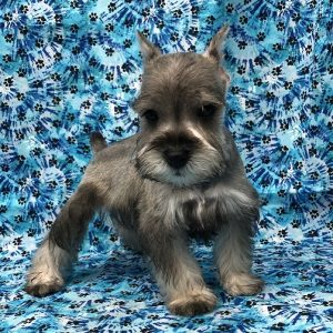 Mini Schnauzer - Male - DOB: 9/22/18 - Ref# 1009