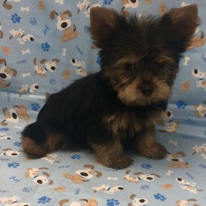 Yorkshire Terrier - Male - DOB: 9/23/18 - Ref# 1011