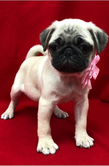 pug puppy for sale in new jersey