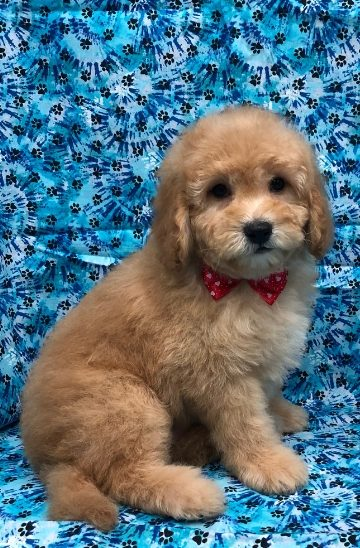 Mini Goldendoodle Male For Sale Available Puppies Englewood