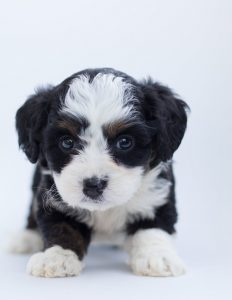 puppy for sale in new jersey