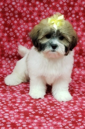 teddy bear female puppy