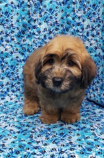 mini whoodle puppy