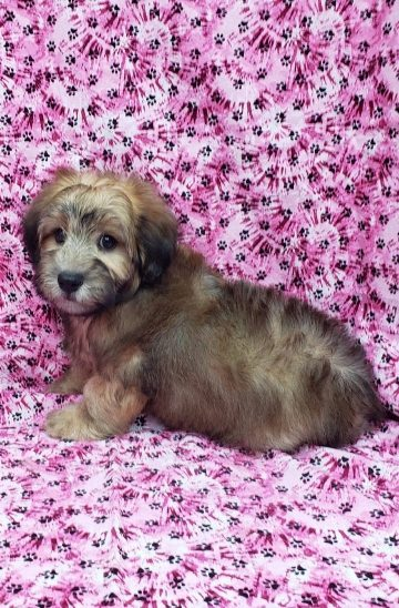 mini whoodle female puppy