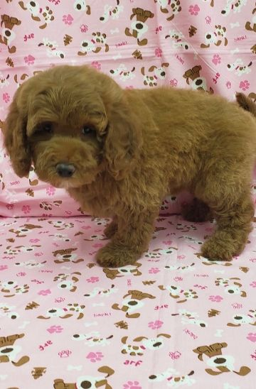 Mini Goldendoodle Female For Sale | Available Puppies | Englewood