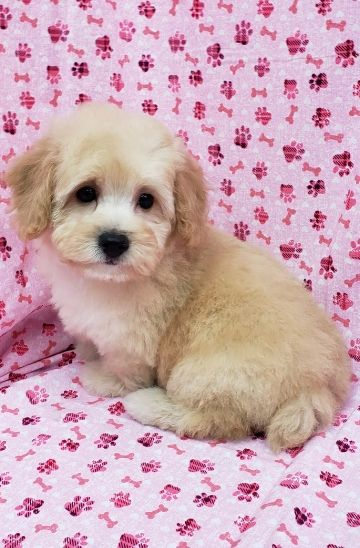 Toy Poodle Female For Sale | Available Puppies | Englewood
