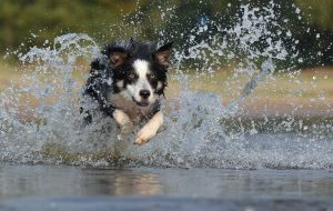 border collie running through water