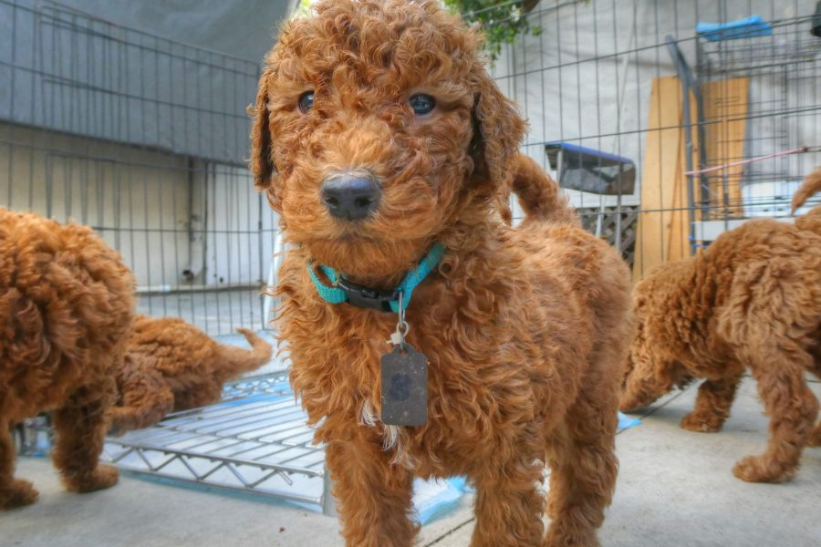 Mini Goldendoodle 10