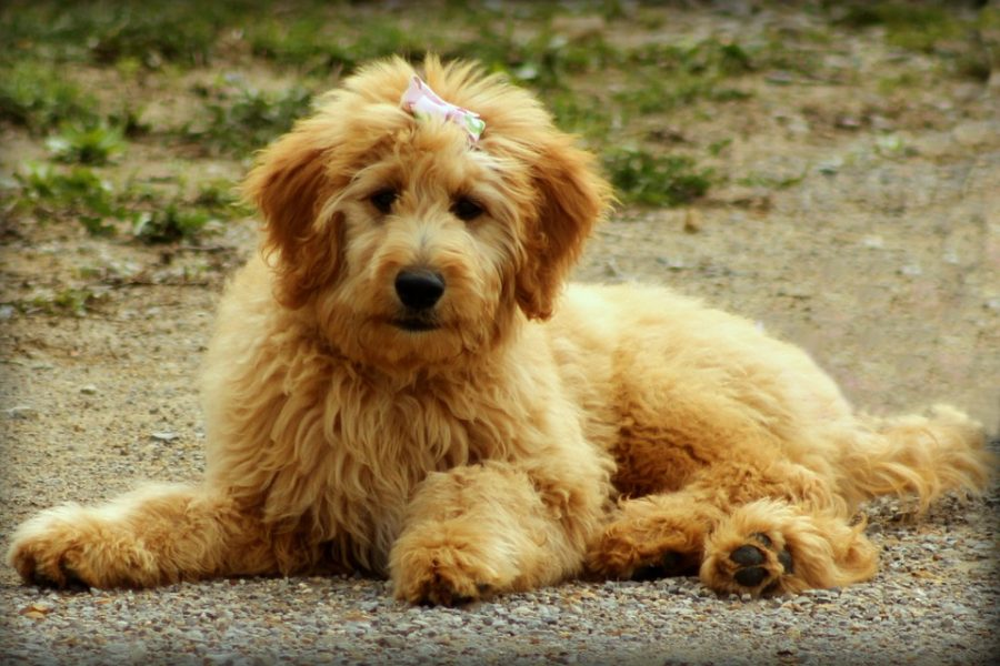 Mini Goldendoodle 9