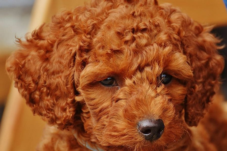 dog-poodle-young-animal-puppy