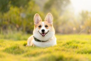 Corgi smiling bright eyed in the sun